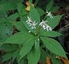 Sharp-leaved, Mountain, or Whorled Aster (Oclemena acuminata)