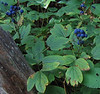Blue Cohosh (Caulophyllum thalictroides) berries