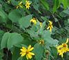 Thin-leaved Sunflower (Helianthus decapetalus)