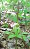 Whorled Pogonia (Isotria verticillata)