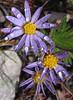 Stiff Aster (Ionactis linarifolius)