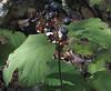 Maple-leaved Viburnum (Viburnum acerifolium) berries