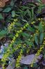Wreath or Blue-stemmed Goldenrod (Solidago caesia)