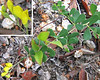 Wild Indigo or Horseflyweed (Baptisia tinctoria)