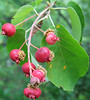 Smooth or Allegheny Shadbush or Serviceberry (Amelanchier laevis) berries