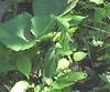 Timber Rattlesnake (Crotalus horridus)on Hawksbill trail