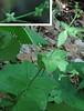 Licorice Bedstraw (Galium circaezans)