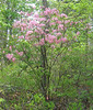 Mountain or Hoary or Early Azalea (Rhododendron prinophyllum)