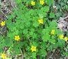 Yellow Wood Sorrel (Oxalis stricta)
