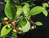 Red Chokeberry (Photinia pyrifolia)