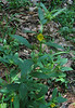Seedbox (Ludwigia alternifolia)