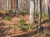 Christmas Ferns (Polystichum acrostichoides) were plentiful