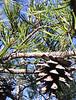 Scrub Pine (Pinus virginiana)