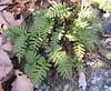 Common or Rock Polypody fern (Polypodium virginianum)