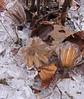 Tulip Poplar (Liriodendron tulipifera) fruit remnants ecased in ice