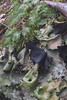 Common Polypody and lichen