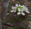 Garlic Mustard (Alliaria petiolata)