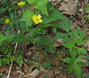 Hispid Buttercup (Ranunculus hispidus)