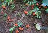 Cinnabar-red Chanterelle (Cantharellus cinnabarinus)
