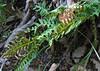 Common or Rock Polypody fern (Polypodium virginianum) showing sori