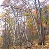 Paper Birch (Betula papyrifera)