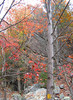 Red Maples (Acer rubrum) in front of rocks on Paine Run Trail