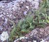 Rock Polypody fern (Polypodium virginianum) and lichen
