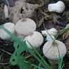 Gem-studded Puffball (Lycoperdon perlatum)