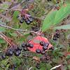 Black Chokeberry (Photinia melanocarpa)