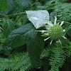 Basil Balm (Monarda clinopodia)