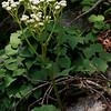 False Boneset (Brickellia eupatorioides)