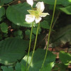 Thimbleweed (Anemone virginiana)