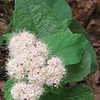 Corymbed Spiraea (Spiraea betulifolia var. corymbosa)