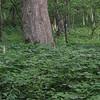Sybille passses Black Cohosh (Actaea racemosa var. racemosa)