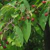 Serviceberry or Shadbush (Amelanchier spp.)