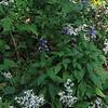 Great Lobelia (Lobelia siphilitica) White Wood Aster (Eurybia divaricata)& Tall Cone Flower (Rudbeckia laciniata)