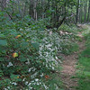 White Wood Asters (Eurybia divaricata)