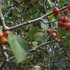 Hawthorn (Crataegus spp.) fruit