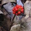 Jack-in-the-Pulpit (Arisaema triphyllum) berries