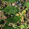 Wavy-leaved Aster (Symphyotrichum undulatum)