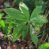 Whorled Aster (Oclemena acuminata)