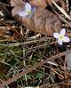 Bluet (Houstonia caerulea)