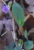 Ovate-leaved Violet (Viola sagittata)