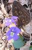 Yellow Morel (Morchella esculenta) with Common Blue Violet (Viola sororia)