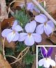 Birdfoot Violet (Viola pedata), light and bicolor