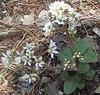 Early Saxifrage (Saxifraga virginiensis)