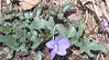 Three-lobed Violet (Viola triloba)