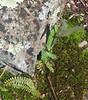 Smooth Rock Cress (Arabis laevigata) & Ebony Spleenwort (Asplenium platyneuron)