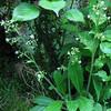 Lettuce Saxifrage (Saxifraga micranthidifolia)