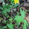 Swamp Buttercup (Ranunculus hispidus var. nitidus)